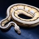 Pythonology