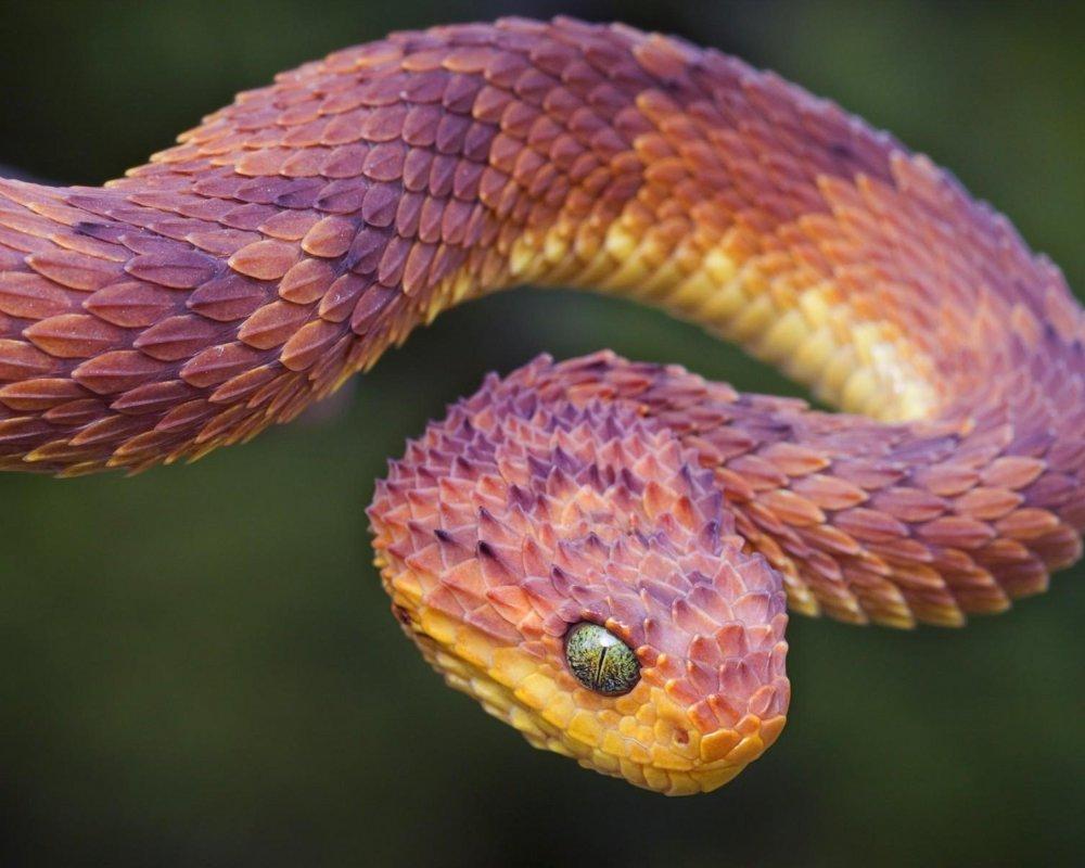 5120x4096-reptile_snake_vipers_animals-20617.thumb.jpg.28ddf8a37b487839aa7c1bae9dbdf7de.jpg