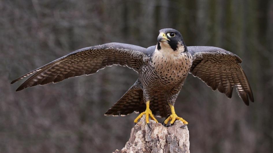 peregrine-falcon-wings-extended.ngsversion.1396531053988.adapt_945.1.jpg.b7c9727e8d7da5a4d36970b147d4fc16.jpg