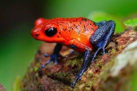 Dart mı Frog.jpg