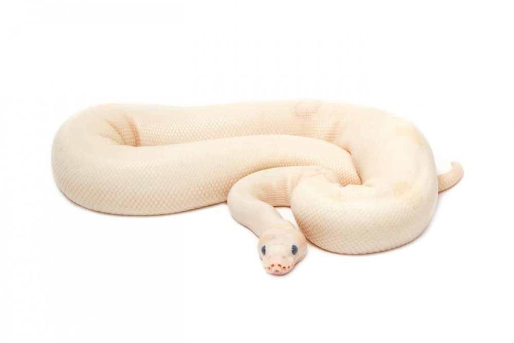 13-cool-facts-about-albino-ball-pythons.jpg