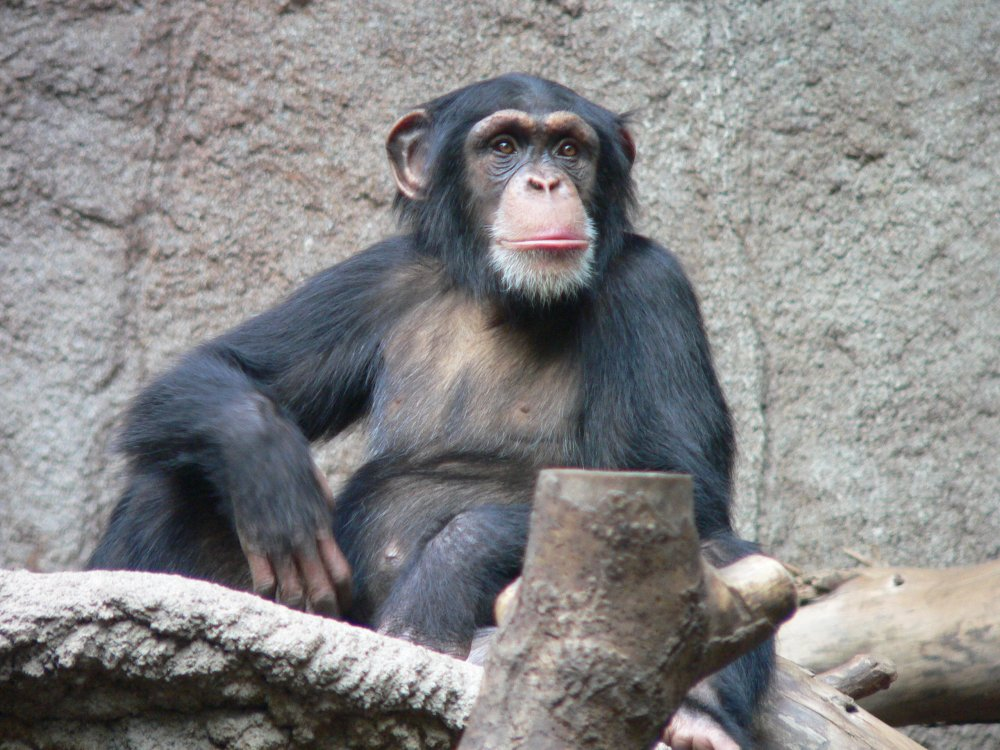 Schimpanse_Zoo_Leipzig.jpg